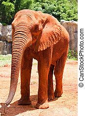 afrikaanse olifant