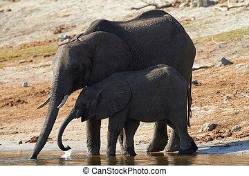 afrikaanse olifanten, kudde