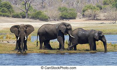 afrikaanse olifanten