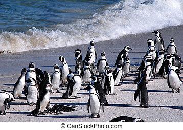 afrikaanse penguins, op, kei, beach(south, africa)