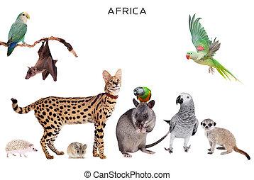 afrikai, állatok, white