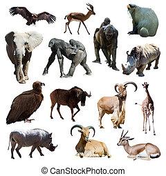 afrikai, animals., elszigetelt, white