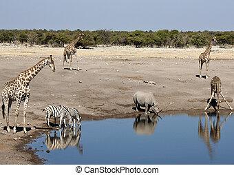 afrikai, kicsapongó élet, -ban, egy, waterhole, alatt,...