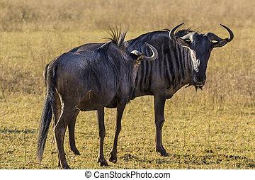 afrikai, wildebeest