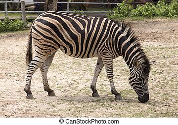 afrikai, zebra
