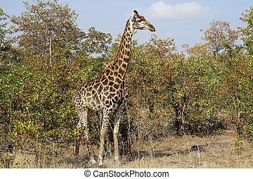 afrikai, zsiráf, kruger nemzeti dísztér, alatt, a, vadon, fej