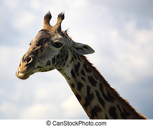 afrikai, zsiráf