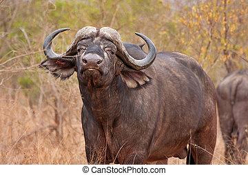 afrikanisch, cape büffel