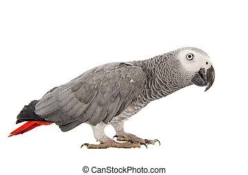 afrikanisch, grau, papagai