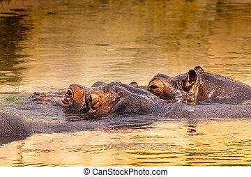 afrikanisch, nilpferd, in, ihr, natürlich, habitat., kenya., afrika.
