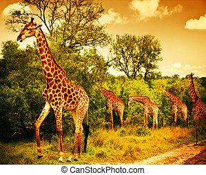 afrikanisch, süden, giraffen