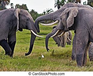 afrikanisch, savanne, in, kenia