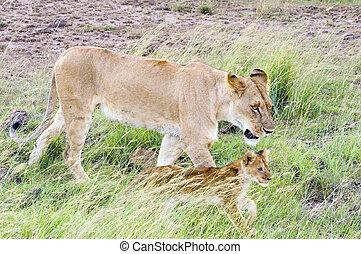 afrikanische löwin, mit, junge