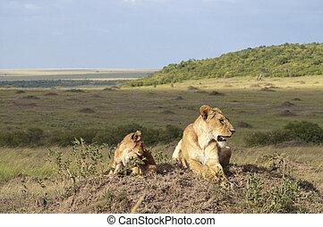 afrikanische löwin, panthera leo, nubica, mit, sie, junge