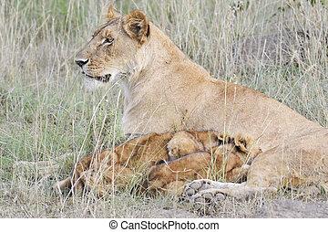 afrikanische löwin, und, sie, whelps