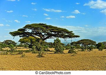 afrikanischer baum savanne afrikas akazie baum gro stockbilder suche stockfotos. Black Bedroom Furniture Sets. Home Design Ideas