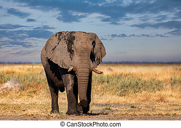 afrikansk elefant, in, chobe, botswana, safari, wildlife