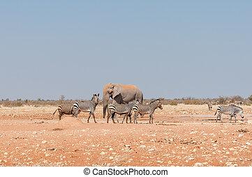 afrikansk elefant, och, lerig, hartmann, fjäll, zebra