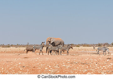 afrikansk elefant, og, mudret, hartmann, bjerg, zebraer