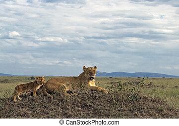 afrikansk lejoninna, med, vargungar