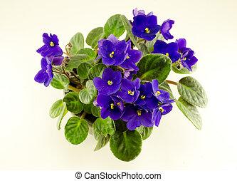 afrikansk viol, blomma, och, grönt lämnar, in, kruka