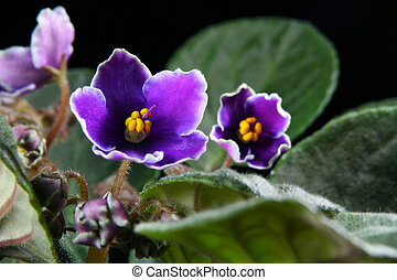 afrikansk viol, (saintpaulia)