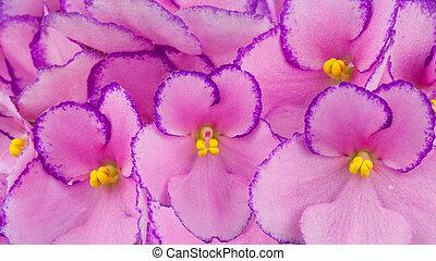 afrikansk, violer