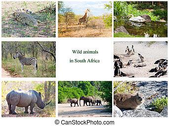 afrikansk, wild djur, collage