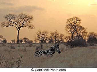 afrikas, sonnenuntergang, zebra