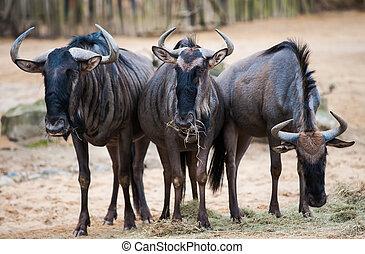afrikas, wildebeests:, tiere, gruppe