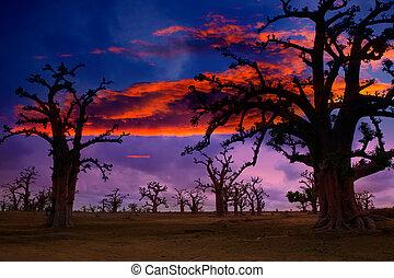 afrique, coucher soleil, dans, arbres mille ans, coloré