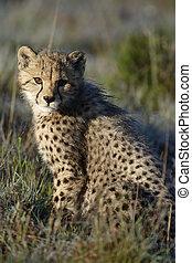 afrique, guépard, sud