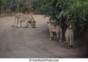 afrique, lion, sud