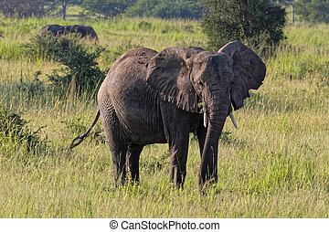 afrique, ouganda, éléphant