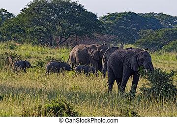 afrique, ouganda, éléphants