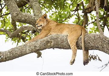 afrykański lew, odpoczynki, w, drzewo