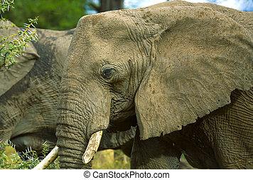 afrykański słoń