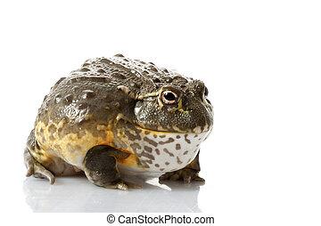afrykanin, żaba, bullfrog/pixie