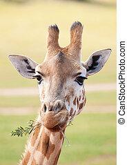 afrykanin, żyrafa, do góry szczelnie