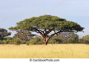 afrykanin, akacjowe drzewo