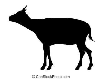 afrykanin, goat