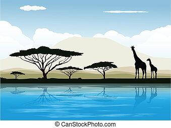 afrykanin, sawanna