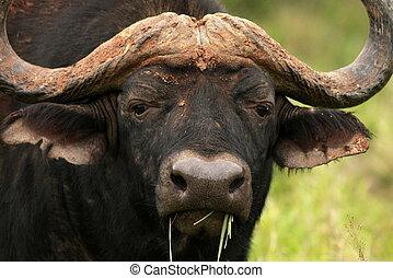 afsluiten, buffel, op