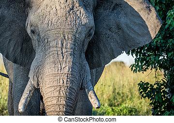 afsluiten, bull., oud, op, elefant