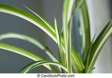 afsluiten, chlorophytum., fris, op, macrophotography, flora...