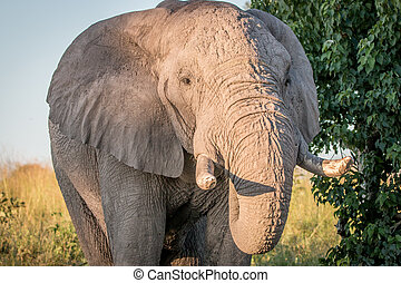 afsluiten, elefant, op, eating.