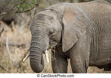 afsluiten, elephant., op, afrikaan