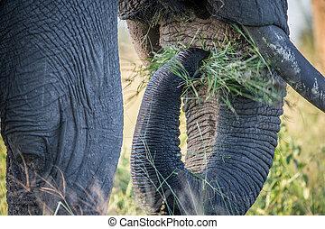 afsluiten, grass., het verorberen, elefant