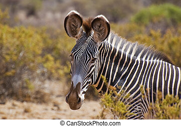 afsluiten, grevys, zebra, headshot, op