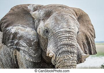 afsluiten, groot, bull., op, elefant